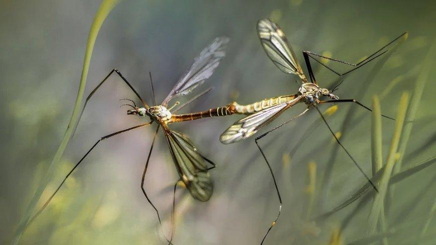 Dwa komary na tle zieleni.